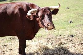 bull-545802__180