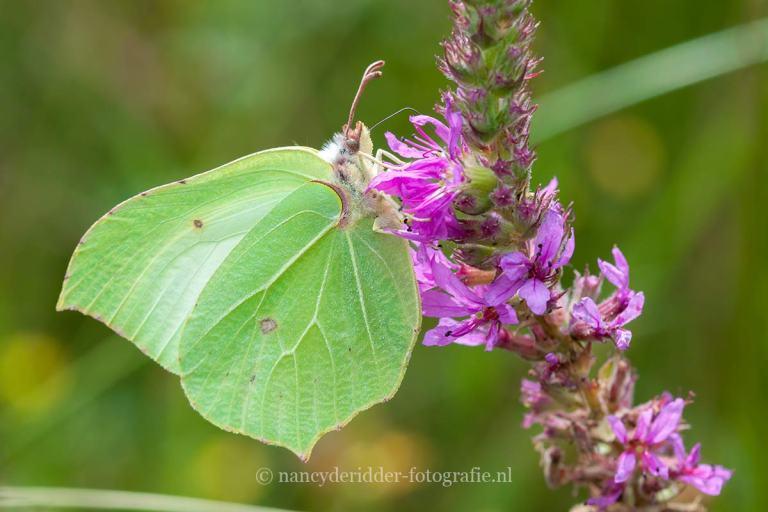 vlinders, citroenvlinder, macrofotografie