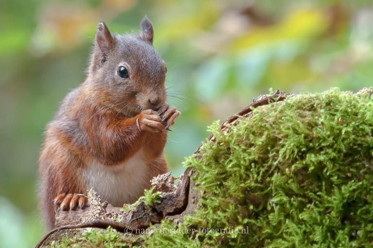 - eekhoorns -
