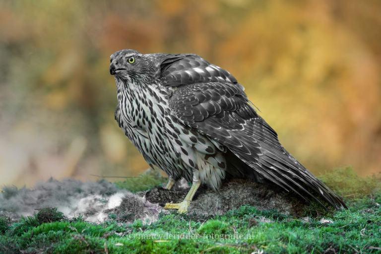roofvogels, vrije natuur, havik, buizerd, torenvalk