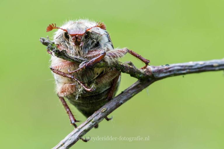 wespenspin, macrofotografie, insecten, meikever
