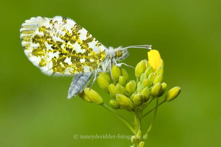 vlinders, oranje-tipje, macrofotografie