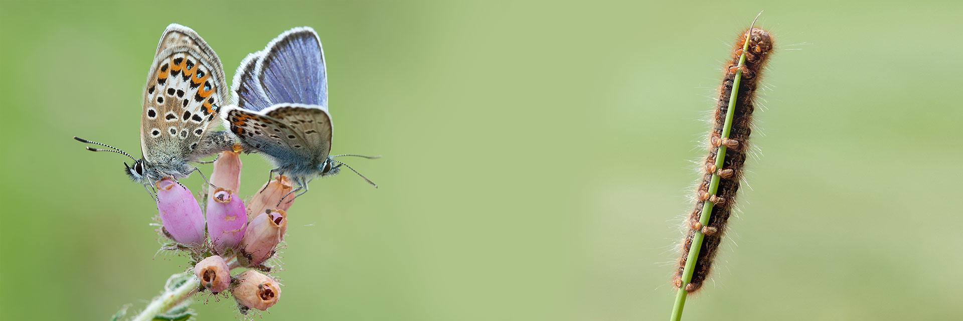 Welkom op de pagina met foto's van Rupsen en Vlinders