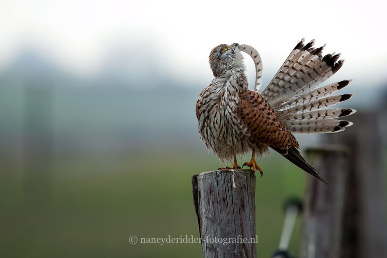- roofvogels -