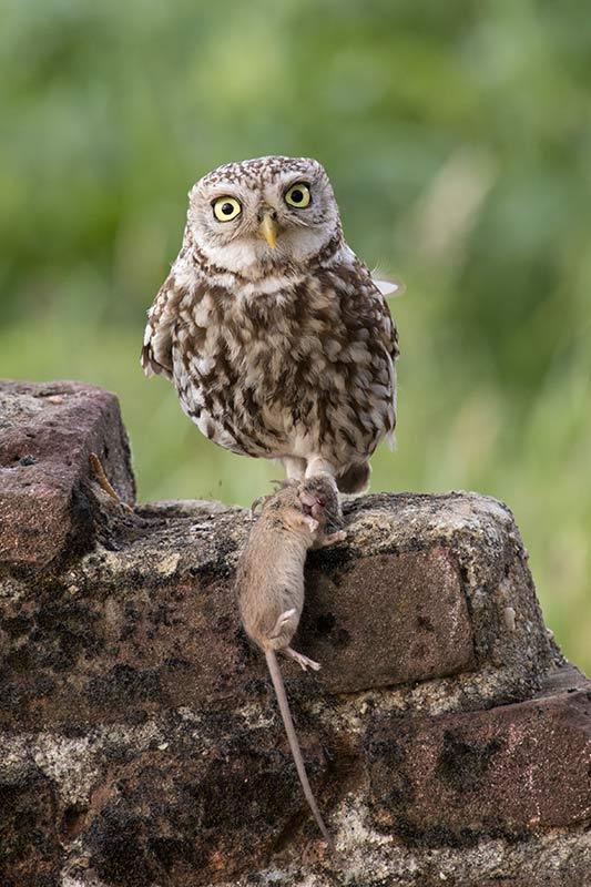 klik hier om meer foto's van uilen te bekijken