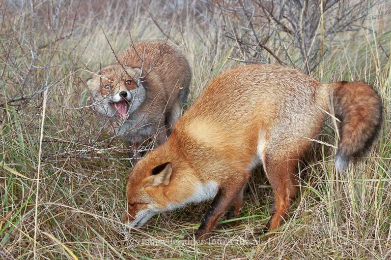 vossen, vrij-natuur, AWD, dierenfotografie