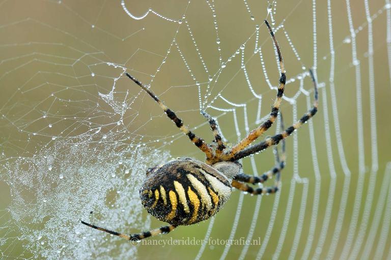 wespenspin, macrofotografie, insecten