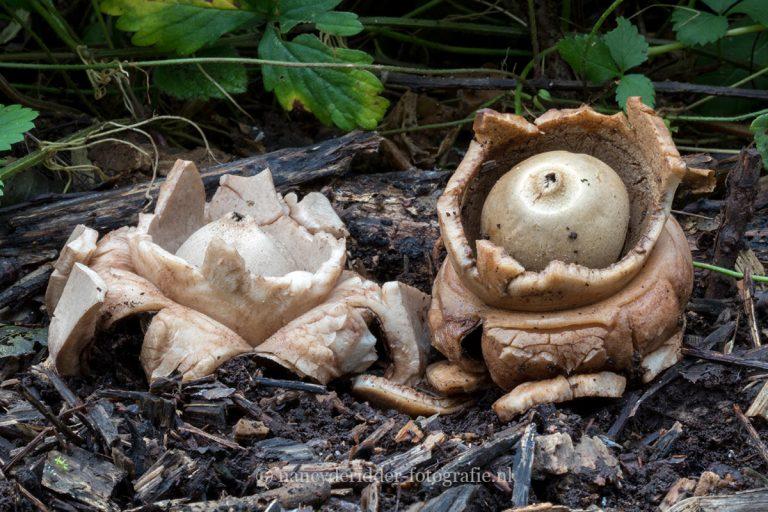 paddenstoelen, natuurfotografie, natuur, aardster