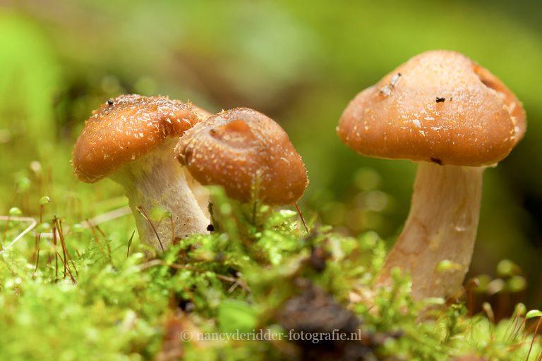 paddenstoelen, natuurfotografie, natuur, honingzwam