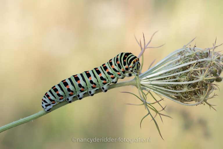 macrofotografie, rupsen, vlinders, insecten