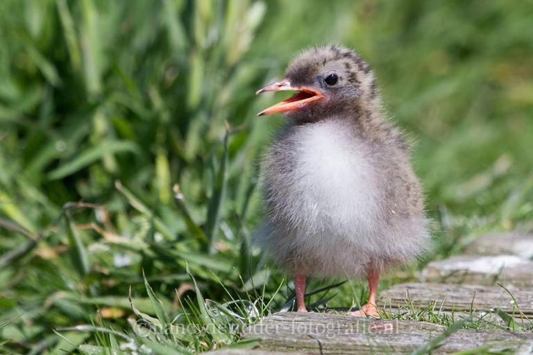 fuut, fuut-met-jong, overige-vogels, vrije-natuur