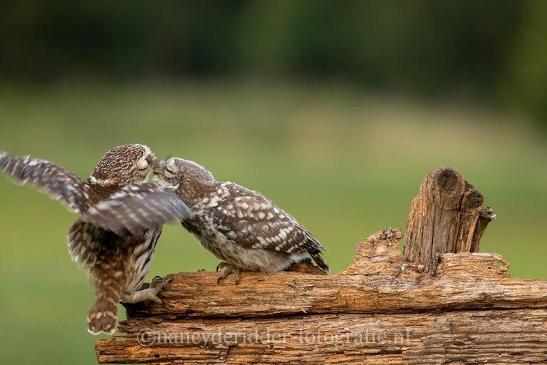 steenuilen, vrije-natuur, natuurfotografie