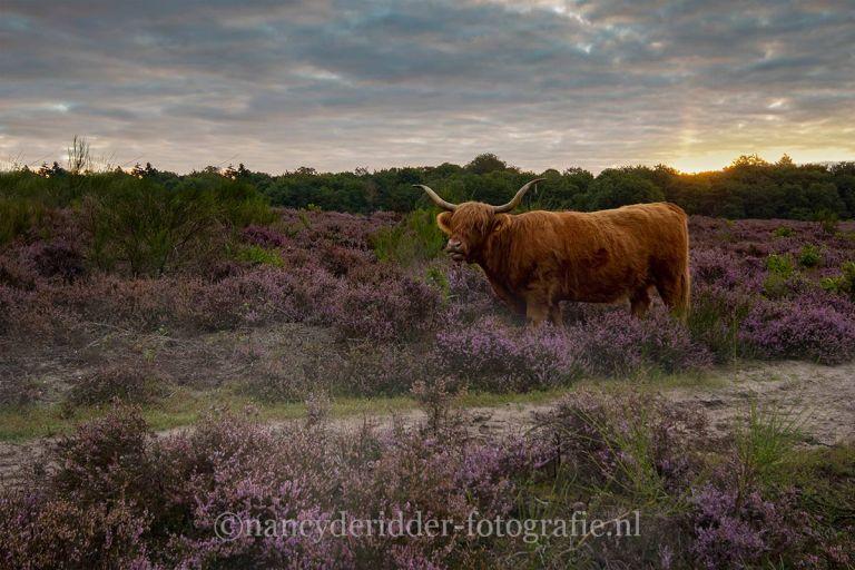 sunrise, zonsopkomst, vroeg-op, natuurfotografie, landschappen, paarse-heide