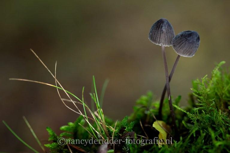 paddenstoelen, natuurfotografie, natuur, melksteelmycena