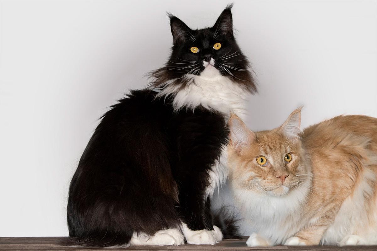 Maine Coon, kittens, raskat, beslissing nementen