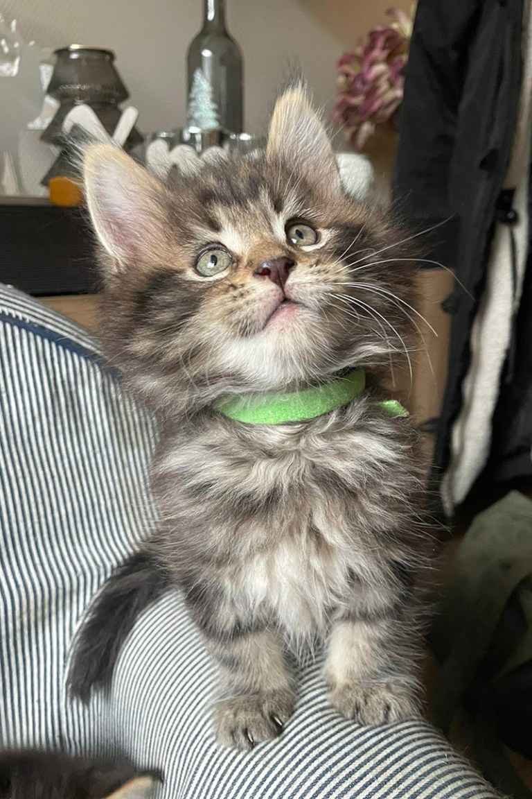 cooper, kitten, maine-coon