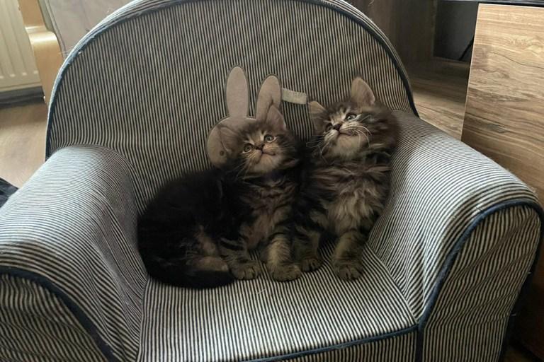 ontmoeting, tweeling, maine-ccon, kittens