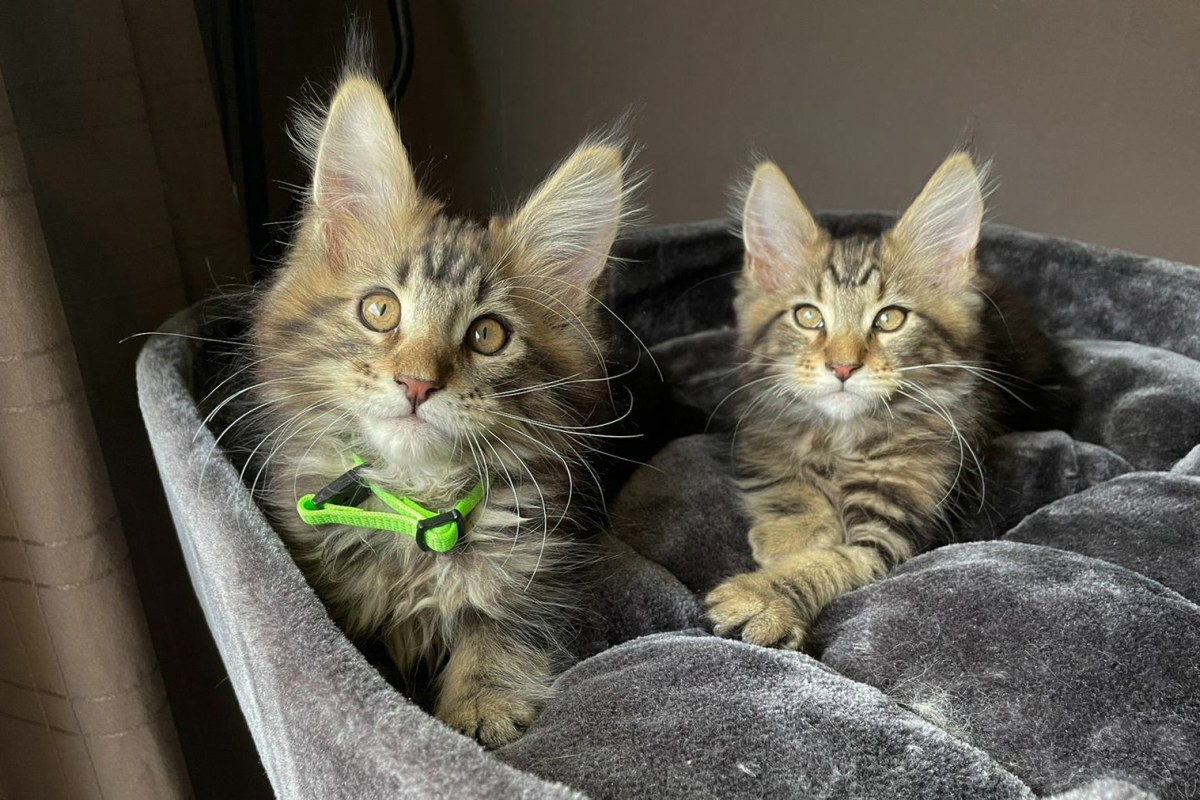 Cooper-Spencer, maine-Coon, kittens