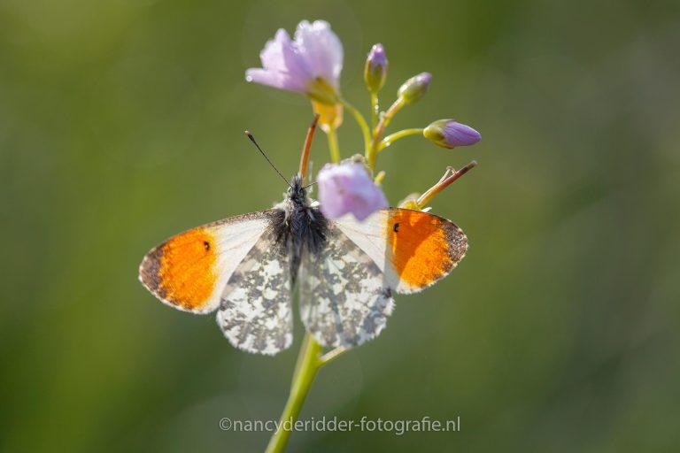 oranjetipje, open-vleugels, oranje-stip, vlinder