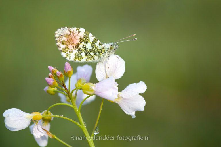pinksterbloem, waardplant, oranjetipje, vlinder, voorjaar