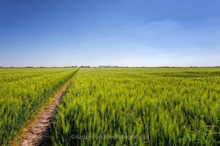 pad, korenveld, groningen, graan
