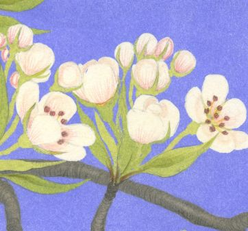 Detail of pear blossom