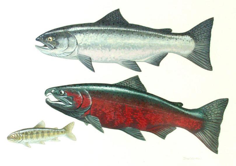 coho-salmon-shari-erickson