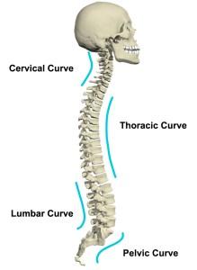 spine-diagram