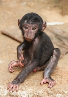 Help Save the Buton Macaque! (1/2)