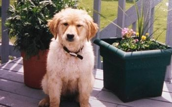 Elsie-the-golden-retriever-puppy