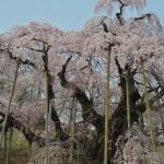 三春の滝桜の駐車場とアクセス情報!見頃と開花予想!