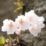 醍醐寺の桜の見頃と開花情報!アクセス方法と駐車場は?