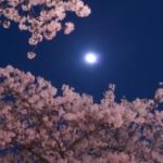岡崎公園の桜の見頃と開花情報|家康行列の交通規制と駐車場情報!