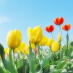 砺波チューリップフェア2016 開花情報|前売りチケットと割引券