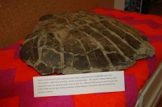 Jeremy Foster of New Albany discovered this 65 million year old sea turtle.