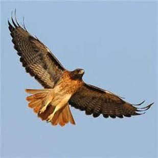 WalMart Hawk