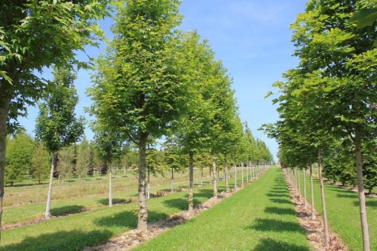 Mature Trees