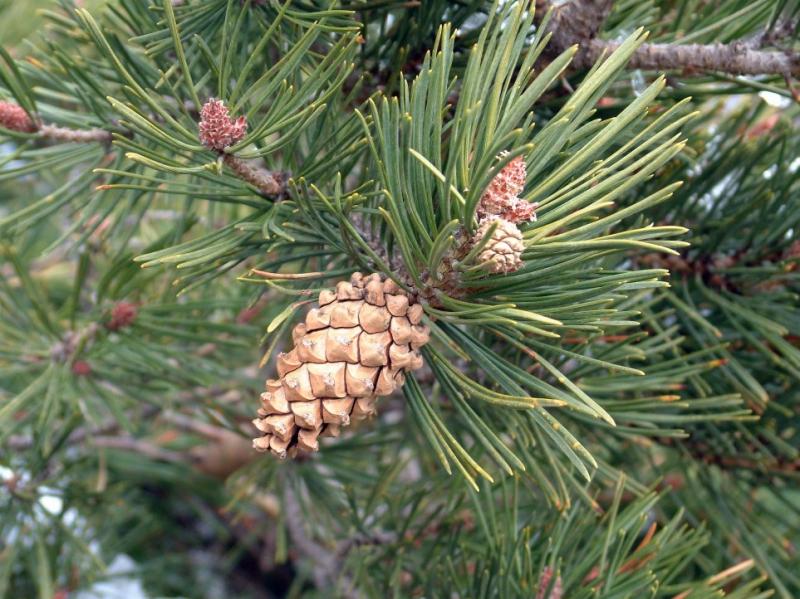 """Attēlu rezultāti vaicājumam """"Pinus sylvestris"""""""