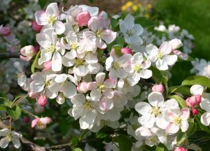 Flowering Multistem Trees