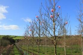 Magnolia spectrum