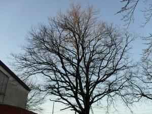 Taille douce des arbres en Pyrénées Atlantique 64 et Landes 40 490 - ECHEGARAY Ñaño élagage