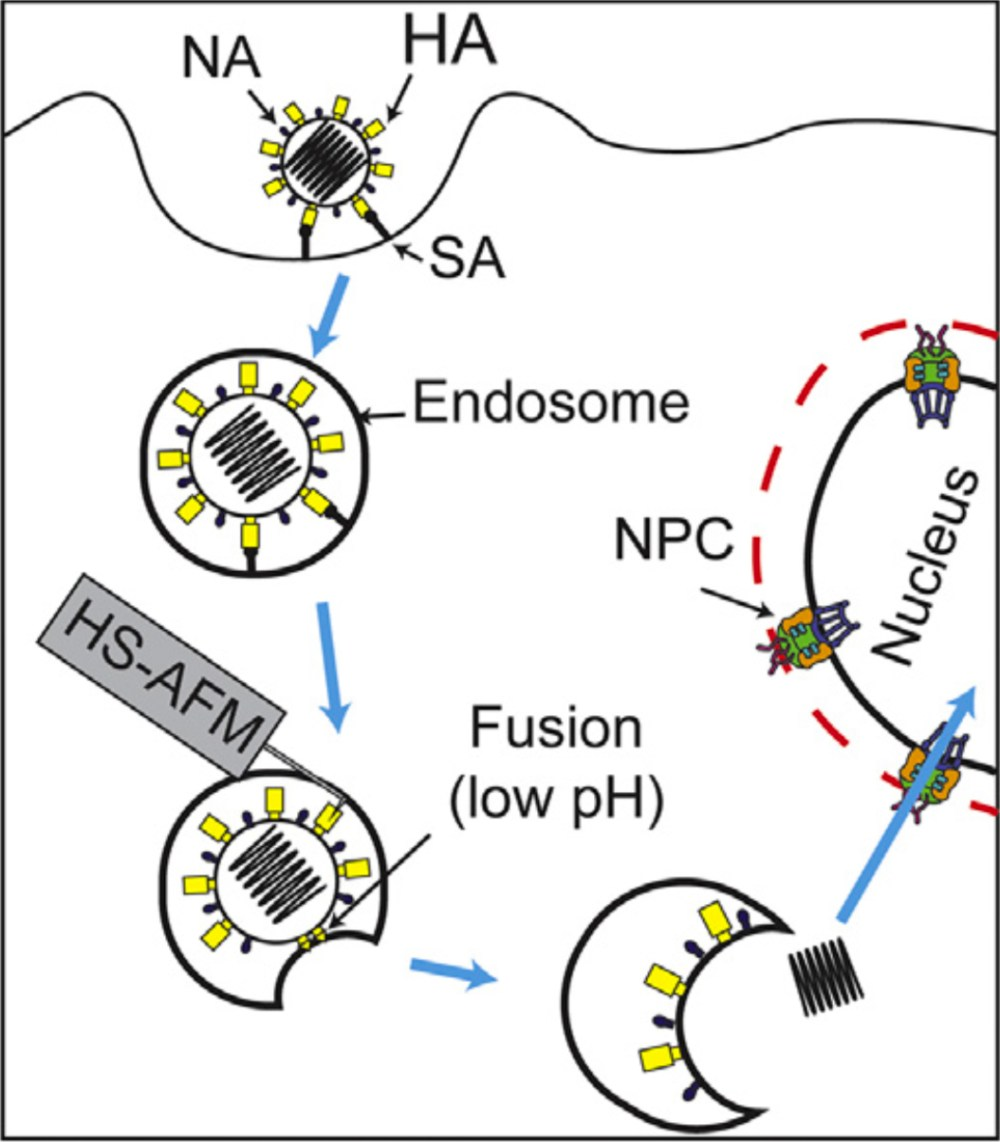 medium resolution of strategy for direct visualization of complex and highly dynamic ha structure during viral entry in near future ha hemagglutinin na neuraminidase