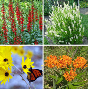 Top Left: Cardinal Flower, Top Right: Sweet Pepperbush, Bottom Left: Swamp Sunflower, Bottom Right: Butterfly Milkweed