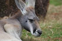 All of the kangaroos were dozing