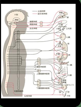 内臓との関連