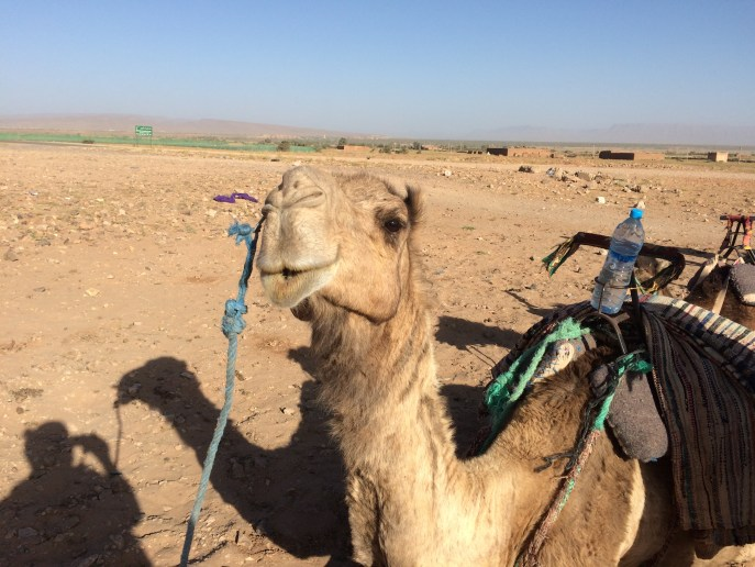 Dromedário_deserto_zagora_marrocos