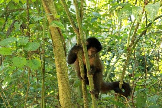 macacos_parque_nacional_iguazu_puerto_iguazu