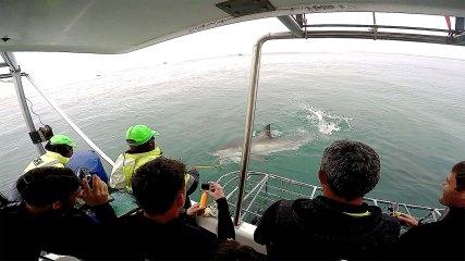 O mais perto que chegamos de um tubarão branco... :(