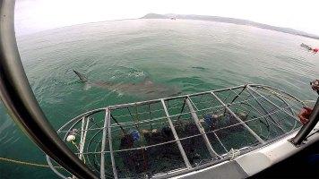A guia avisa a hora que todos devem abaixar para ver o tubarão passar