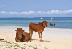 Vaquinhas tomando sol na ilha de Zanzibar